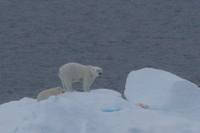 Mother and cub on ice floe
