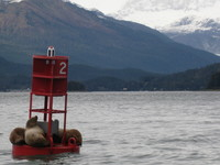 Juneau harbor seals