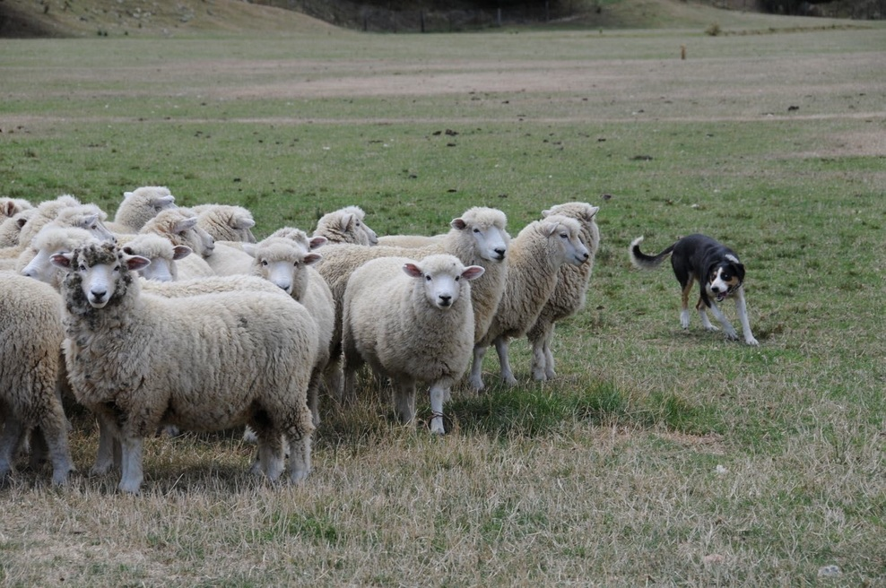 Sheep and working dog