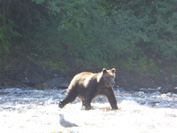 Watching bears fish for salmon