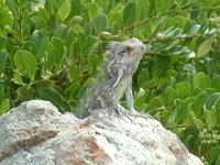 Iguanas line the seawall in St. Thomas