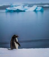 A Gentoo penguin welcomes Explorer guests ashore at Port Lockroy, Antartica