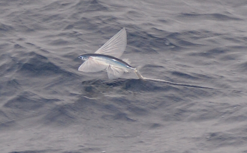 Flying Fish Picture Taken From The Front Of The Ship Deck - Flying cruise ship