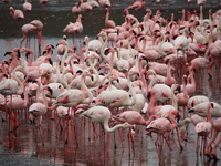 Flamingo at Walvis Bay