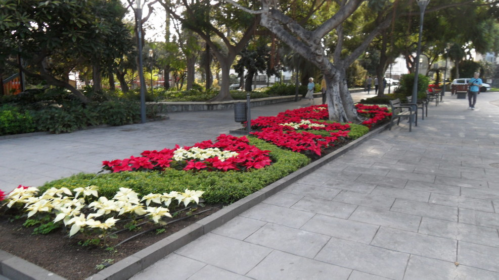 beautiful Poinsettias in Las Palmas park
