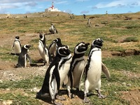 Magallenic Penguins on Magdalena Island, Punta Arenas.