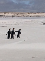 Penquins Volunteer Point Falkland Islands