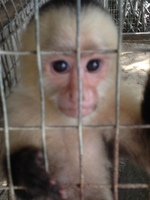 capuchin monkey at Daniel Johnson's sanctuary (Roatan)