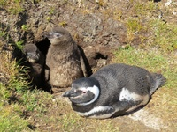 Magellan penguins at Volunteer Point, Falkland islands