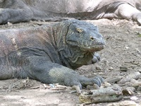 Male Komodo Dragon on Komodo Island.