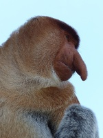 Male Proboscis Monkey at Labuk Bay Proboscis Monkey Sanctuary.