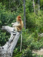 Female Proboscis Monkey at Labuk Bay Proboscis Monkey Sanctuary.