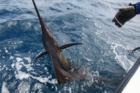 Catch and release sail fish Grenada