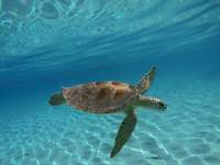 If the turtle we swim with in the Bahamas
