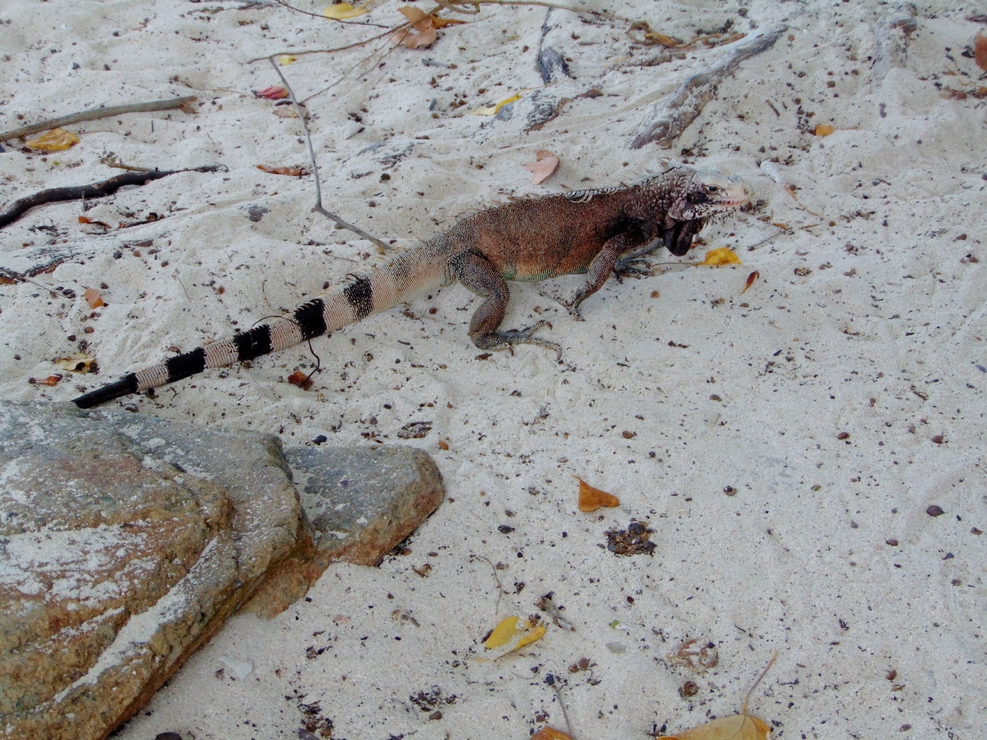 Iguanas everywhere on Sapphire Beach