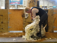 Sheep shearing in Dunedon, NZ