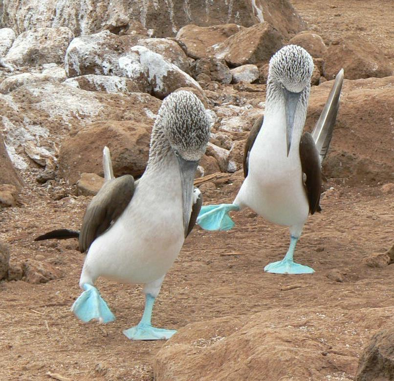 Blue-footed bobbies doing mating dance