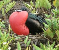 Male Frigatebird trying to attract a mate.