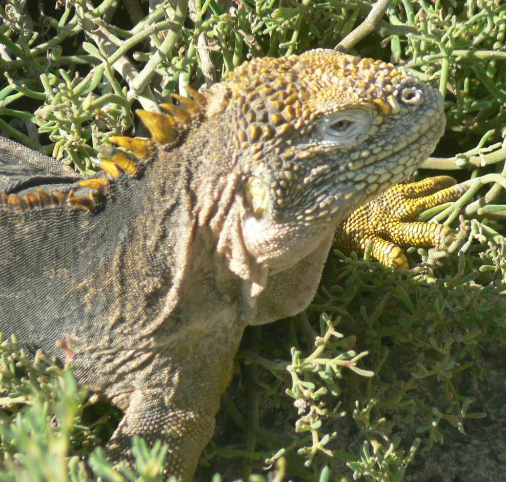 Iguanas were on most Galapagos islands.