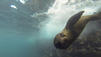 Curious baby sea lion checks us out in the Galapagos!