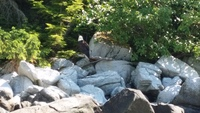 Eagle as seen from our ocean rafting excursion, Skagway
