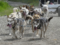 Sled dogs in Caribou Crossing (Skagway excursion)