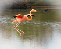 Flying flamingo in Galapagos