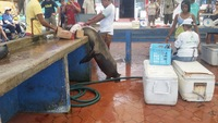 Sea Lion can't helps himself to a local fisherman's catch