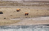 Brown bears at Dawes glacier.