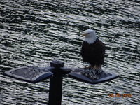 Eagle greeting us in Juneau