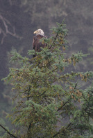 Bald eagle watching for fish in Juneau