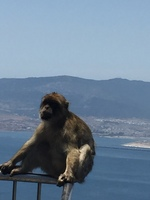 Monkeys everywhere at the top of the Rock of Gibraltar!
