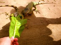 Hand-feeding 2 Iguana at St. Martin