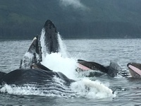 5 humpback whales bubble feeding at Icy Strait