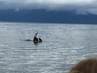 Excursion,whale watch Icy strait!  Orcas!
