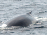 Humpback whale diving off Sitka