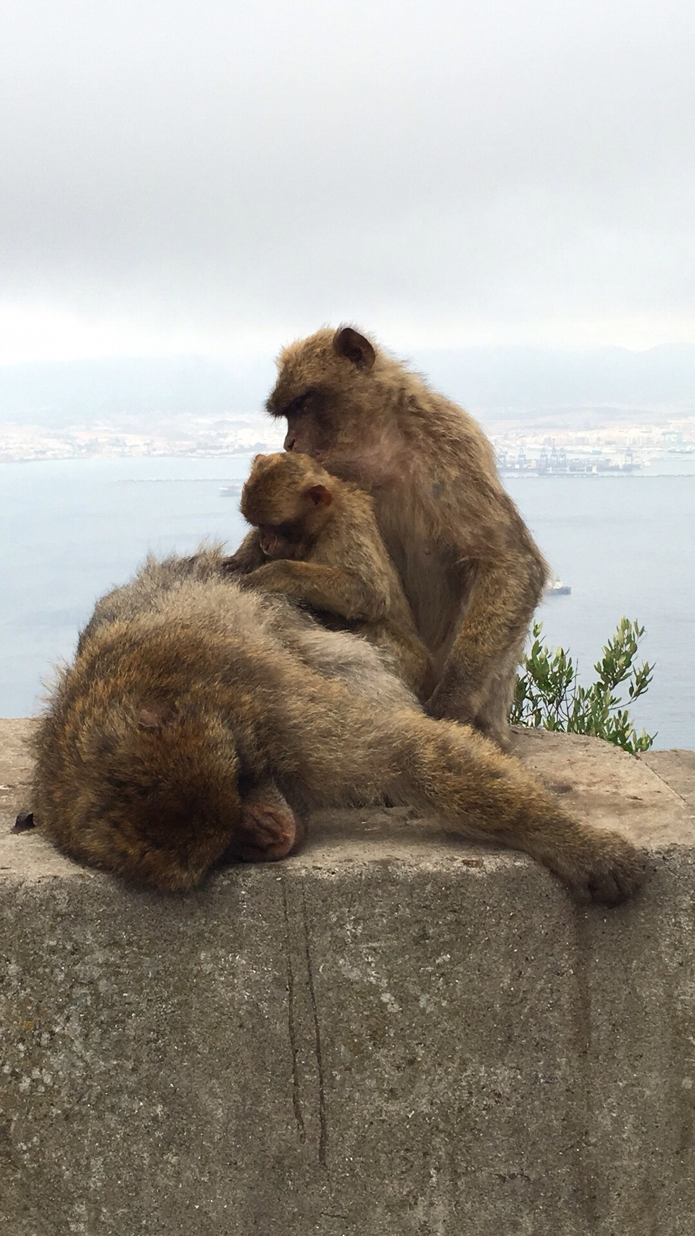 The monkeys at The rock of Gibraltar.