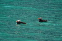 Puffins in Glacier Bay
