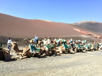 Camels in Lanzarote, Canary Islands