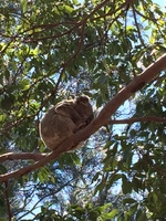 Koala bear sleeping in tree. Sydney.
