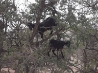 Agadir Argan Oil Tree-climbing goats