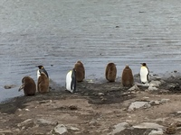 Falkland Island King Penguin pairs with 1 year old babies.