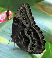 Butterfly in Costa Rica.