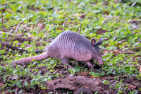 Armadillo on the grounds of the lodge we stayed in the pre-cruise extension