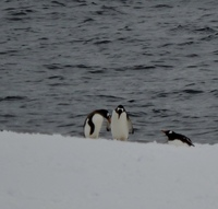 Penguins enjoying themselves on the floating chunks of ice in Paradise Bay, viewed from our balcony