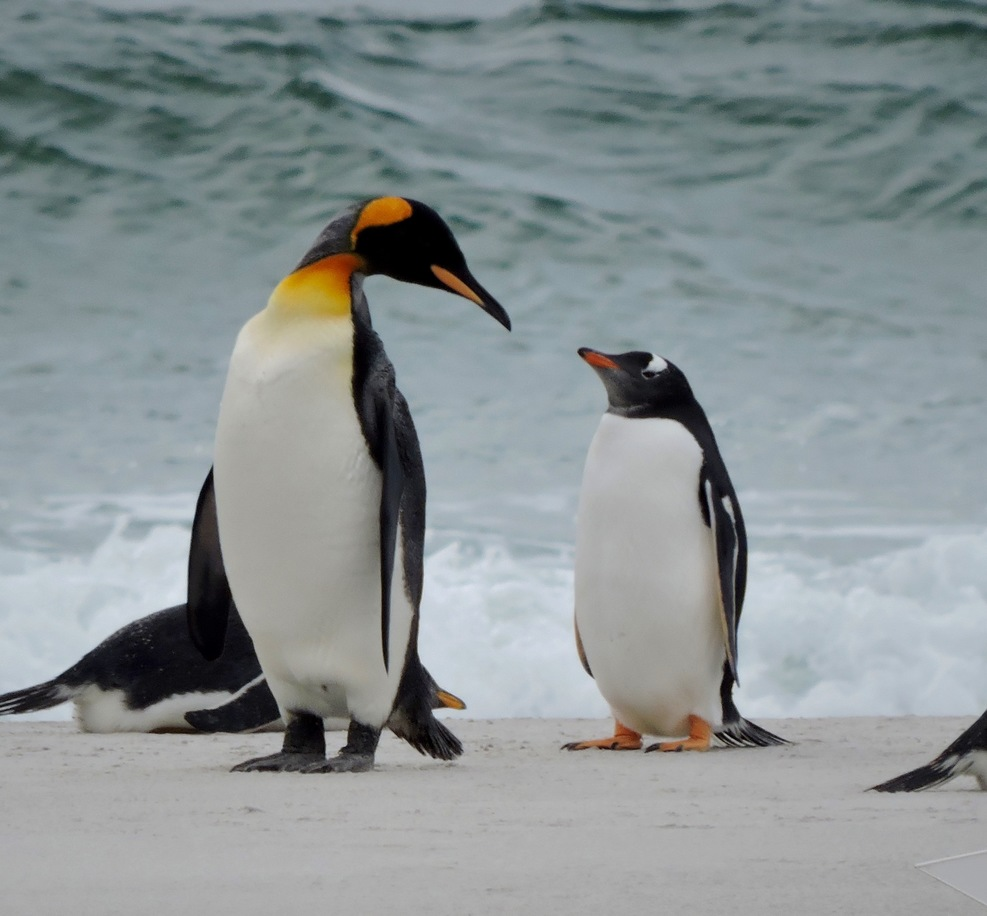 Penguins having an altercation at Bluffs Cove, Falkland Islands.