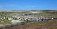 Penguin Colony, Falklin Islands