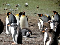 Taken on a tour of the Penguin colony in the Falkland Island. Lots of Adults, and babies just hanging around on a great sunny day.