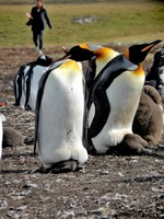 Parents and their big babies keeping warm under mom and dad. Tour of the Penguin colony on the Falkland Islands.