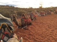 Camels lined up to take us on a ride to the Sound of Silence dinner in the outback at Ayers Rock an awesome experience